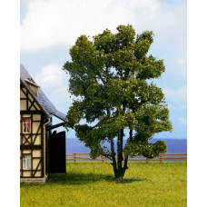 Noch  21660 - Trees Acacia muli-trunk